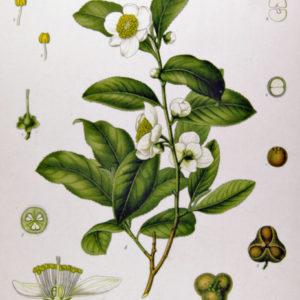 tea-plant1